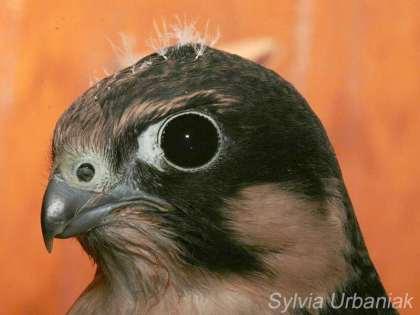 Faucon hobereau juvénile, © Greifvogelhilfe.de