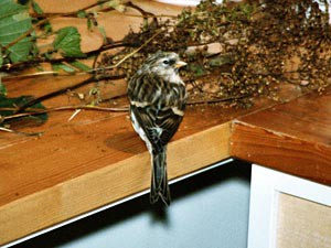 Birkenzeisig am Futter - Hygiene ist bei der Fütterung von Wildvögeln in menschlicher Obhut sehr wichtig.