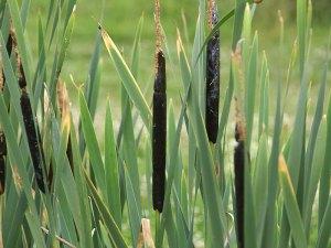 Der Breitblättrige Rohrkolben (Typha latifolia) wächst in feuchten Uferzonen von Teichen und Tümpeln, er bietet vielen Tieren ein Zuhause, © Gaby Schulemann-Maier