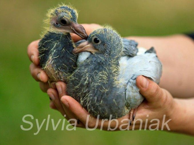 Junge Brieftauben, © Sylvia Urbaniak