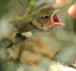 Junger Buchfink, © Frauke Schön
