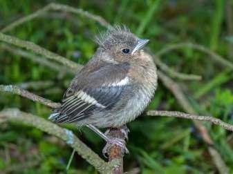Junger Buchfink, © Lord_ArronaX / Pixabay