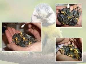 Anfangs waren die Vogelbabys noch 'hübschhässlich', © Monika Sattler