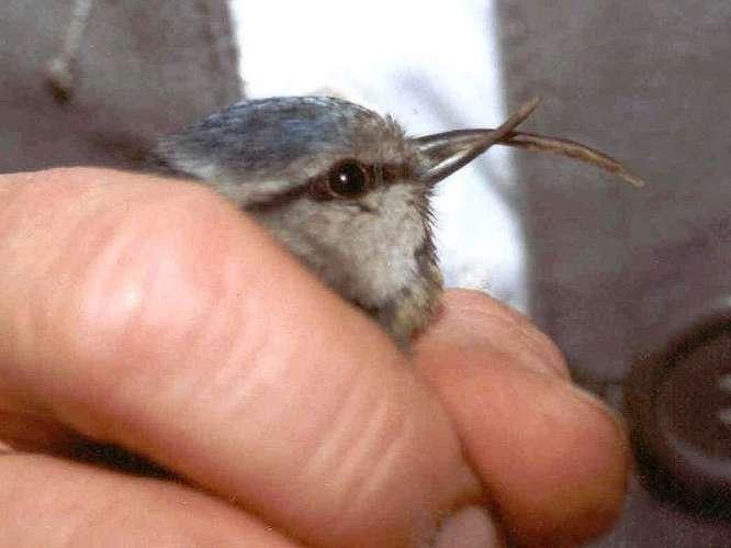 Kreuzschnabel bei einer Blaumeise: Dieser Vogel litt an einer extrem starken Fehlstellung seines Schnabels; beide Hälften waren betroffen, © TA Uwe Mengs