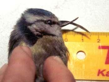 Kreuzschnabel bei einer Blaumeise: Mit einem derart deformierten Schnabel kann sich kaum ein Vogel noch selbstständig ernähren, © TA Uwe Mengs