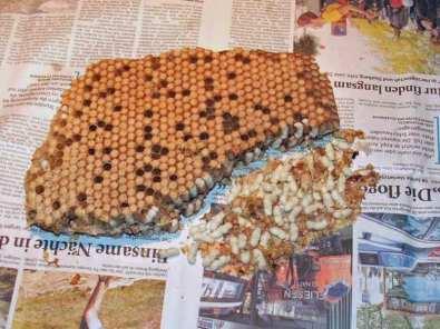 Bienenlarven beziehungsweise Drohnenbrut, © Dagmar Offermann