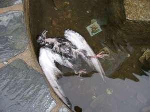 Ein trauriger Anblick: eine in einem Brunnen ertrunkene Taube, © Gaby Schulemann-Maier