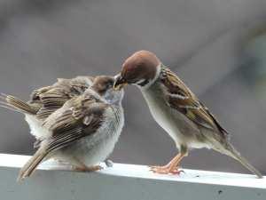 Junger Feldsperling wird von einem Altvogel gefüttert, © Tanja Weise via naturgucker.de