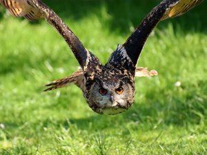 Ein unter Artenschutz stehender Uhu im Flug, © Alexax Fotos / Pixabay