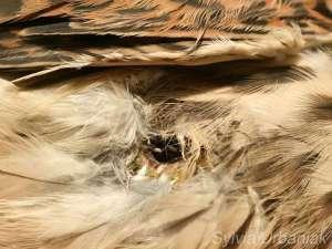 Fliegeneier in einer Brustwunde eines Turmfalken, © Sylvia Urbaniak