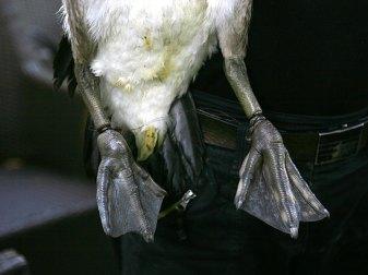 Nur wenn ein Vogel, der solche massiven Einschnürungen beider Beine aufweist, von Menschen gefunden und behandelt wird, hat er eine Überlebenschance. © Paasmühle