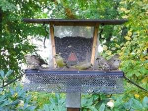 Grünfinken unterschiedlichen Alters am Ganzjahres-Futterplatz, © Prof. Dr. L. Stöcker