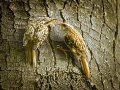 Grimpereau des jardins juvénile avec un oiseau adulte (à droite), © hedera.baltica via Flickr