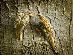Erwachsener Gartenbaumläufer (rechts) füttert sein fast selbstständiges Junges, © hedera.baltica via Flickr