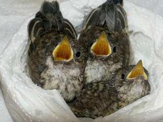 Drei hungrige Grauschnäpper, © Jana Kliche