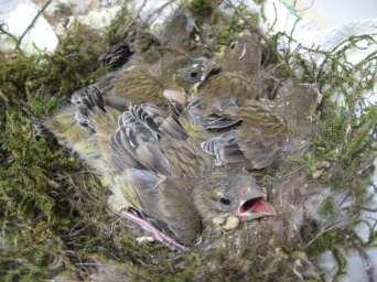 Junge Grünfinken, © Chris Hannes