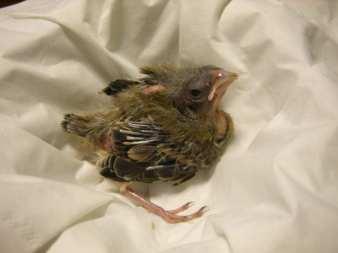Junger Grünfink, © Anja Roscam Abbing