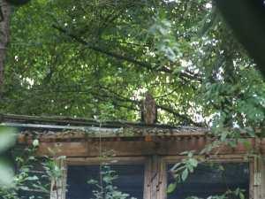 Habicht auf dem Dach einer Wildvogelvoliere, © Anke Dornbach