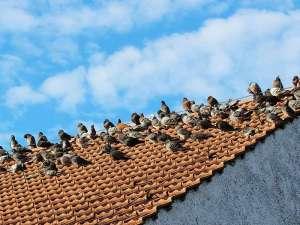 Haustauben oder Stadttauben brauchen ihr Leben lang am besten einen Taubenschlag, in dessen Nähe der gesamte Schwarm gern aufhält, © Walter Eberl / Pixelio.de