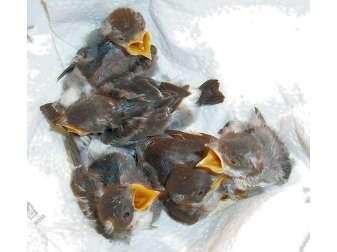 Junge Mehlschwalben, © Schwalbenfreund