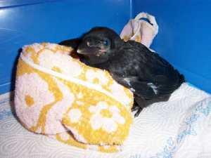 Junger Rabenvogel stützt sich auf ein zusammengelegtes Handtuch, © Susanne Wicht