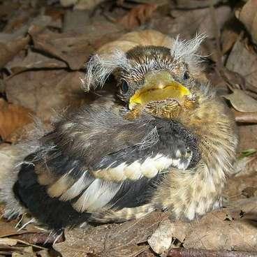 Jeune grosbec casse-noyaux, © Hans-Jörg Schuster