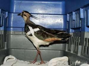 Kiebitz mit bandagiertem gebrochenem Flügel, © Greifvogelhilfe.de