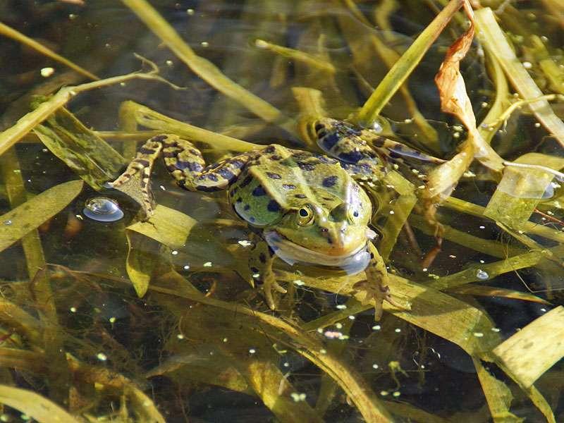Zu den Amphibien, die Gartenteiche besiedeln, gehören oft Kleine Wasserfrösche (Pelophylax lessonae), © Gaby Schulemann-Maier