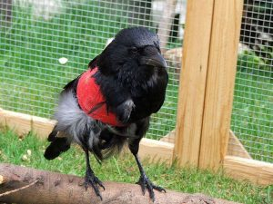 Diese Abbildung zeigt einen nach der konservativen Methode behandelten Rabenvogel, © Dagmar Offermann