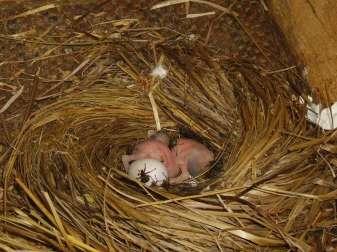 Zwei Tage alte Mauersegler im Nest, sie werden von Segler-Blutlausfliegen heimgesucht, die ihr Blut trinken. © W. B.