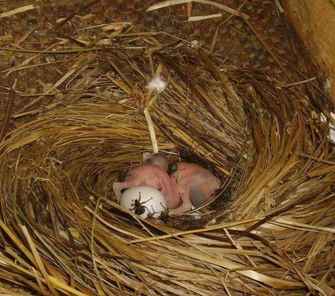 Martinets noirs âgés de deux jours dans le nid. Ils sont victimes du cratérine du martinet (Crataerina pallida) qui se nourrit de leur sang. © W. B.
