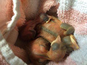 Sehr junge Nestlinge, wie diese Amseln müssen besonders häufig gefüttert werden, © Margareta Michna