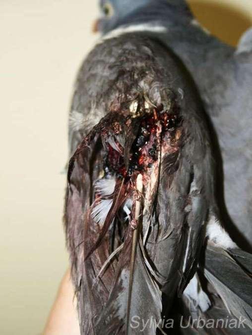 Offener Bruch: Diese Ringeltaube wurde angeschossen und hat dabei einen offenen Bruch erlitten, © Greifvogelhilfe.de
