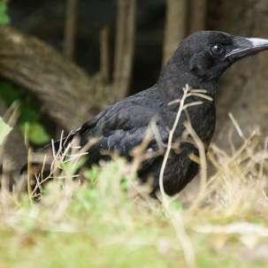 Corneille noire juvénile, © Gaby Schulemann-Maier