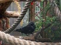 Seile sind ideal für die Balanceübungen geeignet, mit denen sich junge Rabenvögel auf die Wildnis vorbereiten, © Ewald Ferlemann