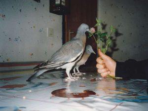 Junge Tauben benötigen frisches Grünzeug wie zum Beispiel Wiesenklee, © Anke Dornbach