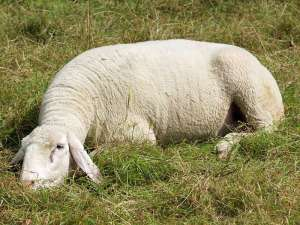 Bei der Pflege großer Naturwiesen können Schafe helfen, © Gaby Schulemann-Maier