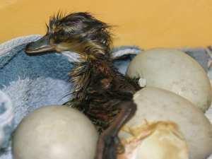 Schlüpfende Stockente, © Verein für kleine Wildtiere in großer Not
