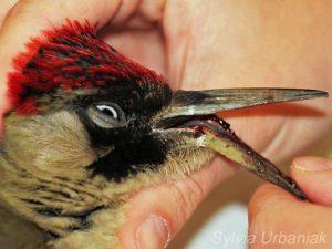 Der Unterschnabelbruch dieses Grünspechtweibchens war so gravierend, dass der Knochen in Mitleidenschaft gezogen war. Eine Heilung war nicht mehr möglich, der schwer verletzte Vogel musste eingeschläfert werden. Das Foto entstand nach dem Einschläfern, um dem Tier durch die Veranschaulichung der schweren Verletzung keine unnötigen Schmerzen zuzufügen. © Greifvogelhilfe.de