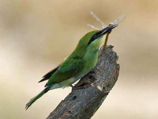 Mit dem langen Pinzettenschnabel können Smaragdspinte (Merops orientalis) nicht nur gefährliche Beutetiere wie Bienen fangen, sondern auch Großlibellen, © Gaby Schulemann-Maier