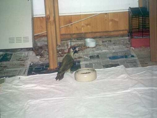 Werden Wildvögel wie dieser Specht in einem Raum untergebraucht, schützt man den Boden am besten mit Zeitungspapier und Laken vor Verschmutzungen durch Kot, © Anke Dornbach