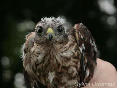 Junger Sperber, © Greifvogelhilfe.de