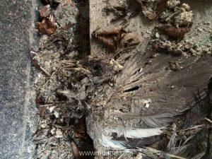 Die weitestgehend zersetzten sterblichen Überreste einer Stadttaube, © Aysin Matthiesen