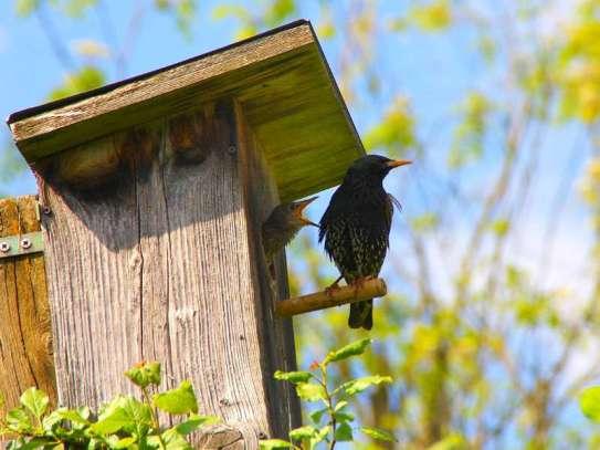 Was Vogelfreunde installieren möchten, ist hingegen wohl eher ein Starennistkasten, © Wolfgang Dirscherl / Pixelio.de