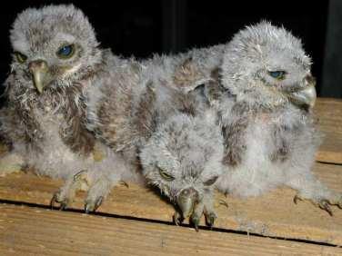 Junge Steinkäuze, © Komitee gegen den Vogelmord