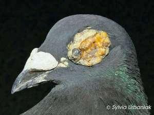 Brieftaube mit Hautform der Taubenpocken, wobei die Augenlider betroffen sind, © Sylvia Urbaniak