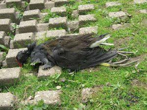 Nicht jeder tot aufgefundene Wasservogel ist an der Vogelgrippe verendet, es gibt auch zahlreiche weitere Todesursachen sowie altersbedingte natürliche Todesfälle; © Gaby Schulemann-Maier