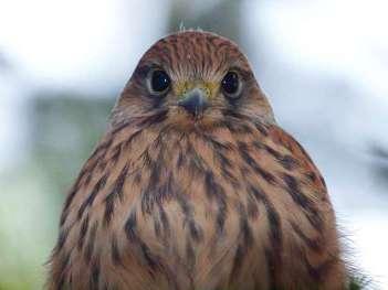 Jeune faucon crécerelle, © Uwe Ross