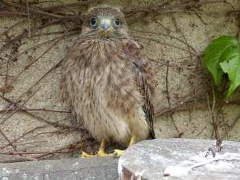 Jeune faucon crécerelle, © Heinz Förster