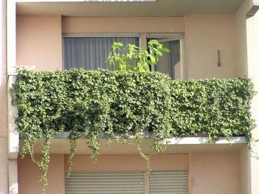 Auf einem mit Efeu begrünten Balkon hat man einen wunderbaren grünen Sichtschutz, © Rüdiger Niemes